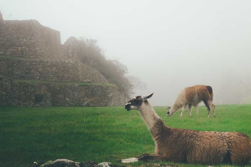 Llama resting in the fog